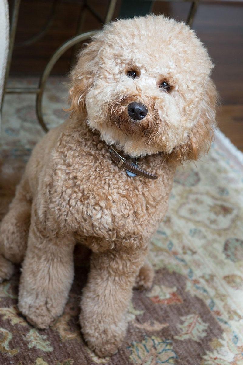 puppy portait